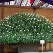 Japon: l'incroyable tradition des chrysanthèmes géants