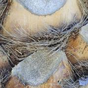 Comment supprimer les souches de palmiers morts?