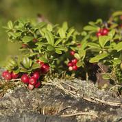 Faut-il tuteurer les plants de cranberry?