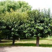 Mûrier platane, l'arbre à soie
