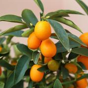 Le kumquat est-il sensible au gel?