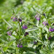Comment éliminer la consoude sans pesticides?