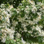 Comment cultiver un Ehretia dicksonii ?