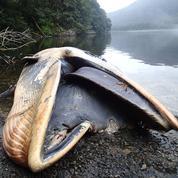 Plus de 300 baleines retrouvées échouées en Patagonie