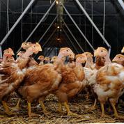 Grippe aviaire : quinze nouveaux foyers dans le Sud-Ouest