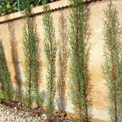 Haie: à quelle distance planter des cyprès de Provence?