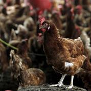 Embargos sanitaires : «Les producteurs assument seuls la pression»