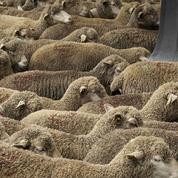 Les bien-pensants sont-ils des moutons ?