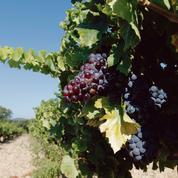 Bientôt des vignes résistantes au mildiou