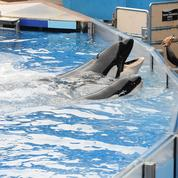 Aux Etats-Unis, un parc animalier met fin à l'élevage d'orques en captivité