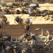 Abeilles : l'Assemblée vote l'interdiction des insecticides néonicotinoïdes