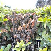 Laurier-amande: pourquoi les feuilles jaunissent et tombent ?