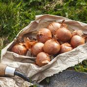 Jardin potager: cinq variétés d'échalote au banc d'essai
