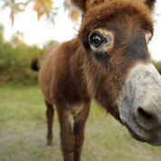 Sauver les ânes grâce à des éprouvettes