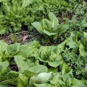 Comment ramasser des salades toute l'année