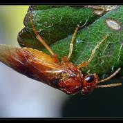Comment lutter contre l'hoplocampe du prunier ?
