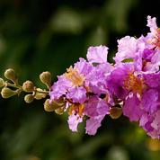 Comment faire fleurir un lilas des Indes ?