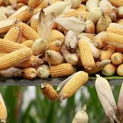 Le Conseil d'Etat annule l'interdiction du maïs OGM Monsanto 810