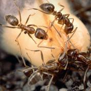 Les fourmis sont des guerrières hors pair