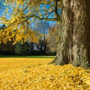 Peut-on supprimer des racines d'un ginkgo adulte ?