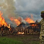 Le Kenya détruit la plus grosse quantité d'ivoire de l'histoire