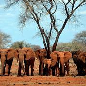 Ivoire : « Pour certaines espèces, les trafiquants représentent la menace principale»