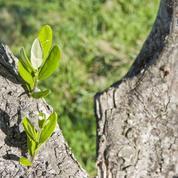 Olivier: faut-il ôter les branches à la base du tronc ?