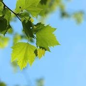 Pourquoi mon érable perd-il déjà ses feuilles ?