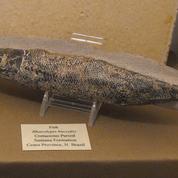 L'étrange cœur fossilisé d'un poisson de 118 millions d'années