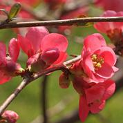 Cognassier du Japon, l'arbuste du printemps