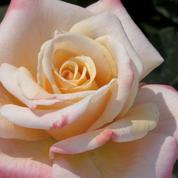 Les roses auront bientôt leur Label Rouge
