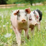 Les cours du porc breton dopés par les importations chinoises
