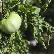 Pourquoi les feuilles de tomates se recroquevillent-elles ?