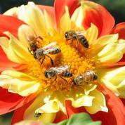 Les députés interdisent l'insecticide qui tue les abeilles