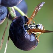 Guêpes: comment protéger le raisin ?