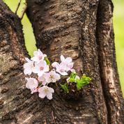 Mieux vaut-il tailler ou remplacer de vieux cerisiers du Japon ?