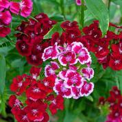 Oeillet de poète, le bouquet parfait