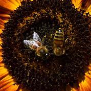 La France vote l'interdiction des insecticides tueurs d'abeilles