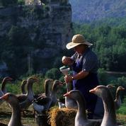 La production de foie gras redémarre dans le Sud-Ouest