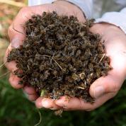 Les néonicotinoïdes affaiblissent les abeilles