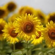 Comment les tournesols suivent le soleil