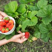 Préparez votre prochaine récolte de fraises