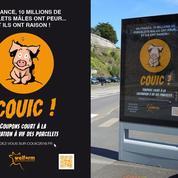 Une campagne contre la castration à vif des porcelets censurée dans l'Ouest