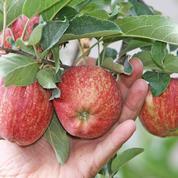 Les producteurs de pommes ont le sourire