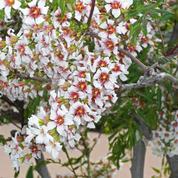 Xanthoceras, un bel arbuste venu de Chine et de Mongolie