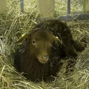 Au RC Vannes, les retardataires à l'entraînement doivent héberger un mouton