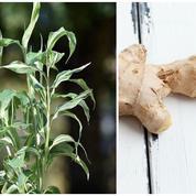 Jardin gourmand: vous aimez le gingembre ? Cultivez-le