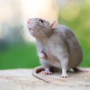 S'il est heureux, le rat rit sous les guilis