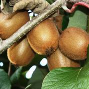 Kiwi, délicieuse liane fructifère
