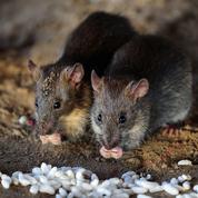 La ville de Paris se lance dans la chasse aux rats